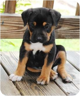 Charlie | Adopted Puppy | Paintsville, KY | Rottweiler ...