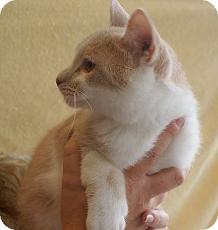 American Shorthair Cat for adoption in Hazard, Kentucky - Jo Jo