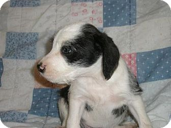 German Wirehaired Pointer/Boxer Mix Puppy for adoption in Roosevelt, Utah - Neptune