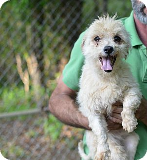 Poodle (Miniature)/Maltese Mix Dog for adoption in Sparta, New Jersey - Curly