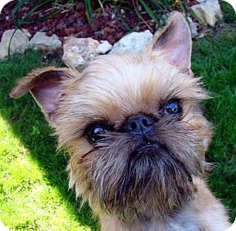 Brussels Griffon/Affenpinscher Mix Dog for adoption in Lemont, Illinois - VOLUNTEERS NEEDED!
