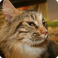Domestic Mediumhair Cat for adoption in Phoenix, Arizona - Goldie