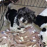 Adopt A Pet :: Arie - Playa Del Rey, CA