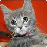 Adopt A Pet :: VICTORIA - SILVER SPRING, MD