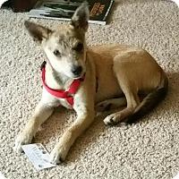 Adopt A Pet :: Sergeant - San Antonio, TX