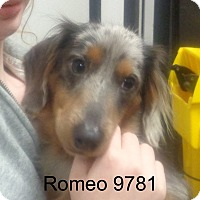 Adopt A Pet :: Romeo - baltimore, MD