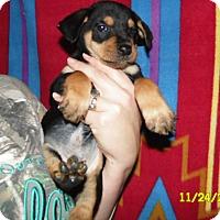 Adopt A Pet :: cobbler (cheagle) - mooresville, IN