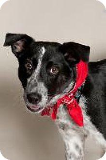 Australian Cattle Dog/Pointer Mix Dog for adoption in Louisville, Kentucky - Frisco