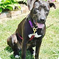 Adopt A Pet :: Glenda - Westminster, MD