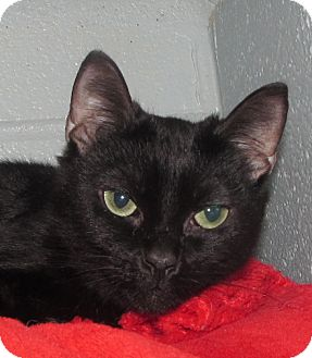 Domestic Shorthair Cat for adoption in New Windsor, New York - Boo