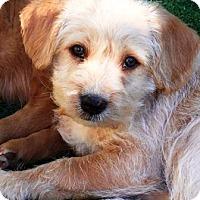 Adopt A Pet :: Wesley - Gilbert, AZ