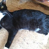 Domestic Shorthair Cat for adoption in Princeton, New Jersey - Quasar