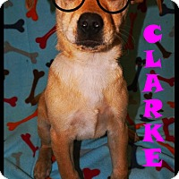 Adopt A Pet :: Clarke - Converse, TX