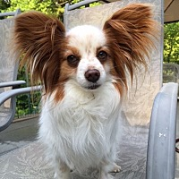 Papillon Dog for adoption in Sandown, New Hampshire - Pasha (NH)