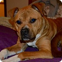 Adopt A Pet :: Snickers - Yonkers, NY