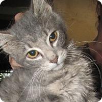 Adopt A Pet :: Dorsey Kitten - Germantown, MD
