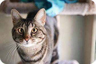 Domestic Shorthair Cat for adoption in Boise, Idaho - Pepper