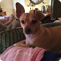 Chihuahua Dog for adoption in Corona, California - Jean Paul  - A gentle soul