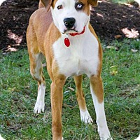 Boxer/Hound (Unknown Type) Mix Dog for adoption in Enfield, Connecticut - Cotter