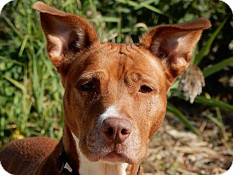 American Staffordshire Terrier Mix Dog for adoption in Long Beach, New York - Remy