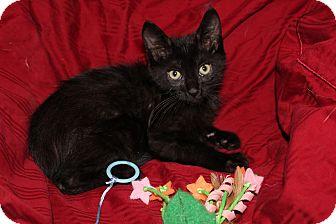Domestic Shorthair Kitten for adoption in Wichita, Kansas - Merlin