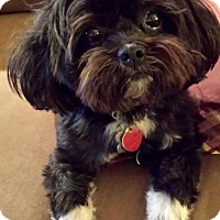 Shih Tzu Dog for adoption in Euless, Texas - Jet Li