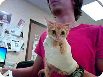 Domestic Mediumhair Kitten for adoption in Conroe, Texas - FRED
