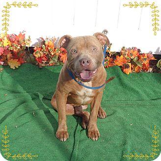 Pit Bull Terrier/American Pit Bull Terrier Mix Dog for adoption in Marietta, Georgia - OAKIE
