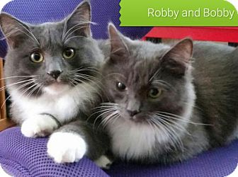 Domestic Mediumhair Cat for adoption in Campbell, California - Bobby & Robby