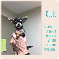 Adopt A Pet :: Ollie - Renton, WA