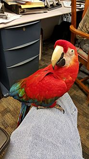 Macaw for adoption in Shawnee Mission, Kansas - Tequila