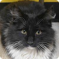 Adopt A Pet :: Mr. Whiskers - Las Vegas, NV
