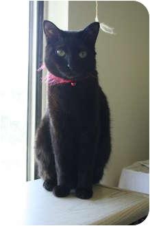 Domestic Shorthair Cat for adoption in Santa Rosa, California - Jade
