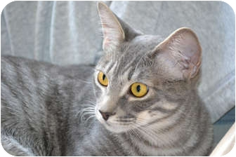 Domestic Shorthair Cat for adoption in Laguna Woods, California - Foxy