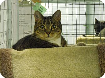 Domestic Shorthair Cat for adoption in Mission, British Columbia - Indy