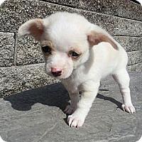 Adopt A Pet :: Sochi - Bridgeton, MO