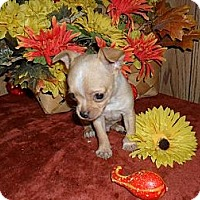 Adopt A Pet :: Dixie - Chandlersville, OH