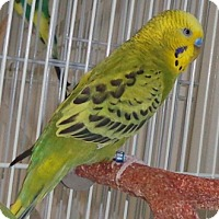 Budgie for adoption in Grandview, Missouri - Roy