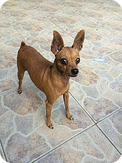 Miniature Pinscher Dog for adoption in Tampa, Florida - JENA (DA DG)