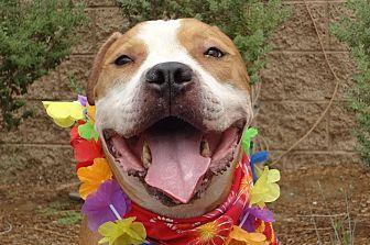 Mastiff/American Bulldog Mix Dog for adoption in Canoga Park, California - Rembrandt