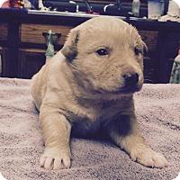 Adopt A Pet :: Nico - Little Rock, AR