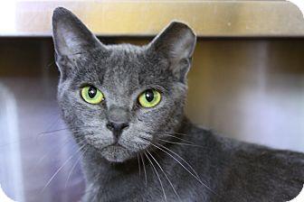 Domestic Shorthair Cat for adoption in Sarasota, Florida - Juniper