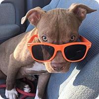 Adopt A Pet :: Piggly Winks - Houston, TX