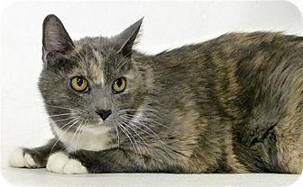 Domestic Mediumhair Cat for adoption in Sedona, Arizona - Alice