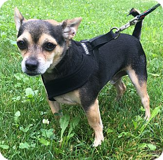 Chihuahua/Miniature Pinscher Mix Dog for adoption in Dayton, Ohio - Ollie - Dayton, OH