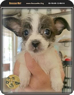 Jack Russell Terrier/Shih Tzu Mix Puppy for adoption in Los Angeles, California - Brewster