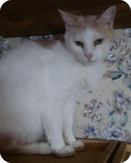 Domestic Shorthair Cat for adoption in Witter, Arkansas - Bobbi