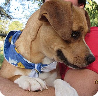 Beagle Mix Dog for adoption in Bay Springs, Mississippi - S1013   Grace