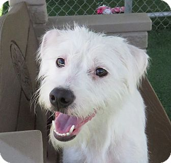 Terrier (Unknown Type, Medium)/Poodle (Miniature) Mix Dog for adoption in Santa Ana, California - Pearl