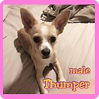 Adopt A Pet :: Thumper - Mesa, AZ